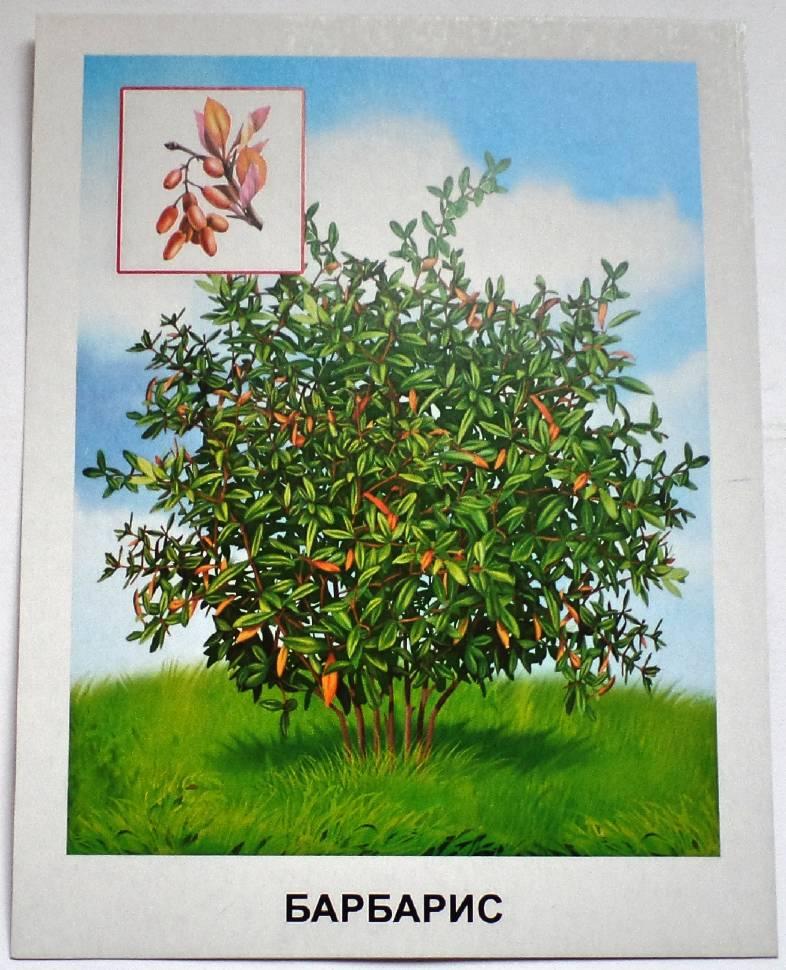 кустарники картинки для доу цветущий вид
